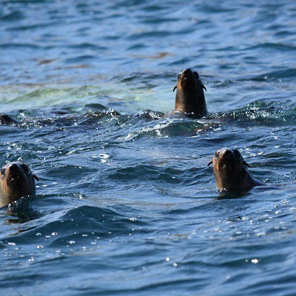 Kanowna Seals